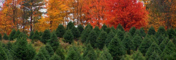 New Hampshire Farm Fresh · Fraser Fir · Balsam Fir · Christmas Trees - Choose And Cut Your Own Christmas Tree At Mountain Star Farms